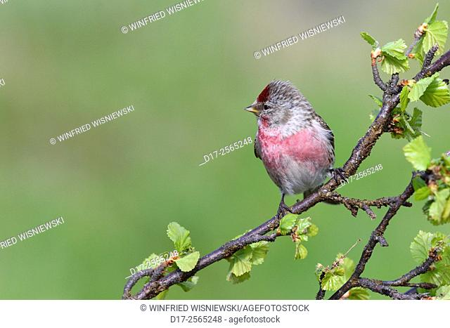 Male common redpoll (Carduelis flammea). Norway