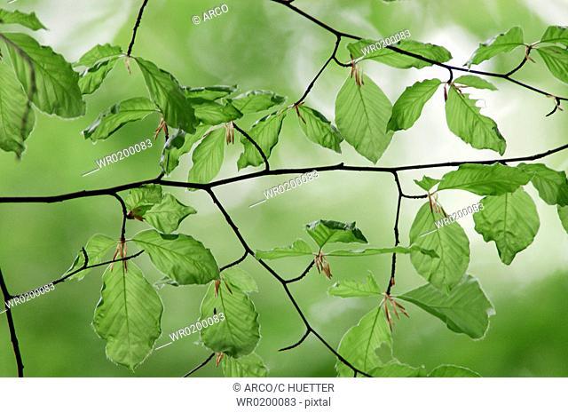 Beech, leaves, in, spring, North, Rhine-Westphalia, Germany,Fagus, sylvatica