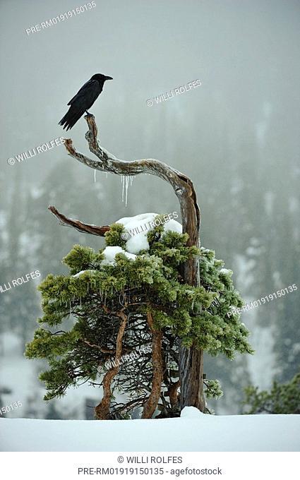 Common raven sitting on a snowy tree, Corvus corax, Scandinavia, Europe