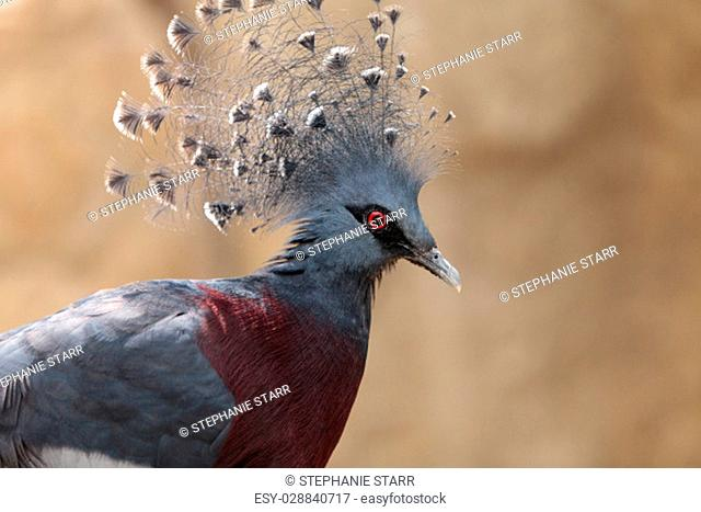 Victoria crowned pigeon called Goura victoria is found in Northern New Guinea