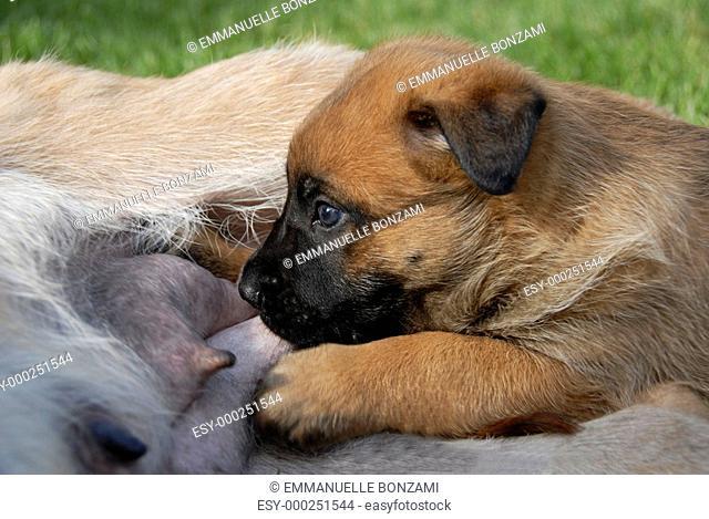 puppy suckle