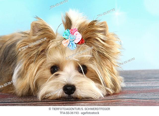 lying Ocean-Pearl Yorkshire Terrier