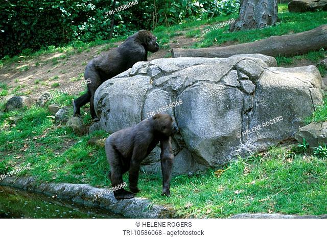 Sydney NSW Australia Taronga Zoo Gorillas