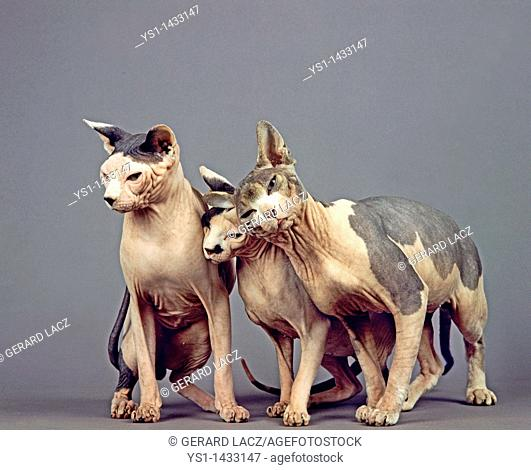 SPHYNX DOMESTIC CAT, CAT BREED WITH NO HAIR, GROUP AGAINST GREY BACKGROUND