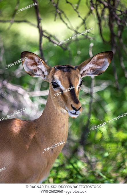 Portrait of a black-faced impala, Etosha National Park, Namibia, Africa