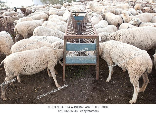 Some mature sheeps standing at fenced corral, Extremadura, Spain