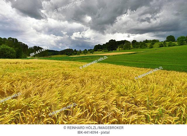Cultural landscape, cornfield in the wind with cloudy sky, South Burgenland, Austria
