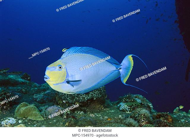 Unicornfish Naso vlamingii, being cleaned by a Bluestreak Cleaner Wrasse Labroides dimidiatus, Bali, Indonesia