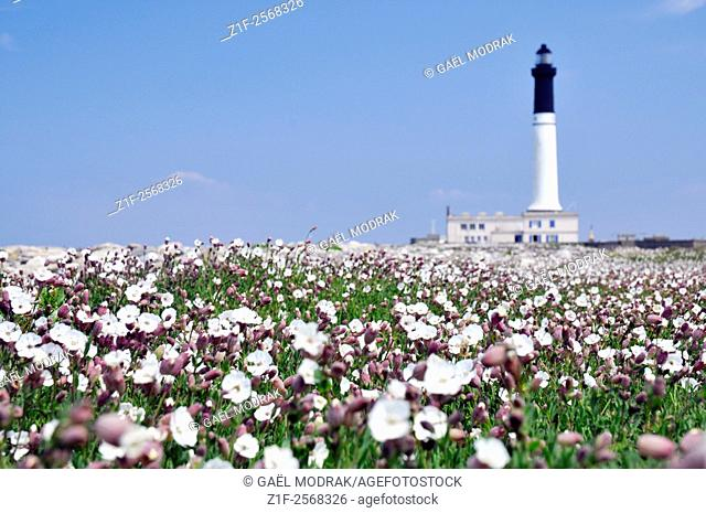 Lighthouse Goulenez of Sein island in Brittany and spring flowers