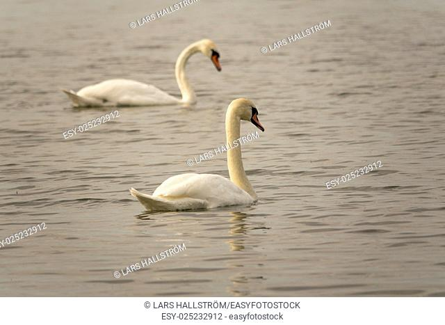 Two white swans swimming in lake. Beautiful nature scene with wildlife