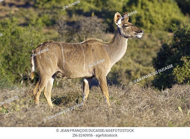 Greater kudu (Tragelaphus strepsiceros), adult female, Addo Elephant National Park, Eastern Cape, South Africa, Africa