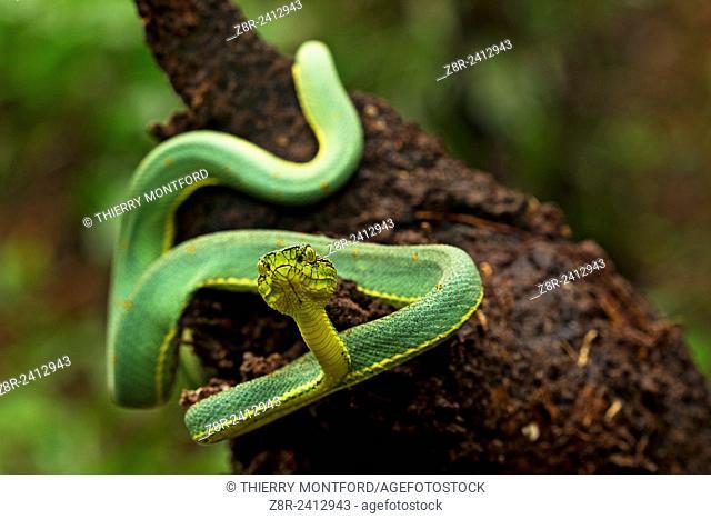 Bothriopsis bilineata. Green jararaca. Tree Viperid. Venomous Snake (solenoglyph) mostly nocturnal. Behaviour varies according to the specimen