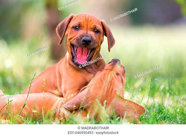 Rhodesian ridgeback dog playing Stock Photos and Images