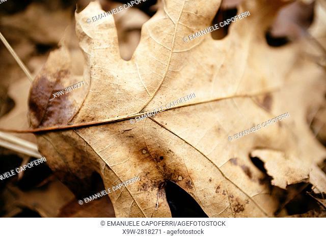 oak leaf, dried