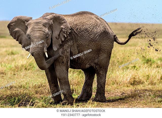 African Elephant blowing dust. Masai Mara National Reserve. Kenya