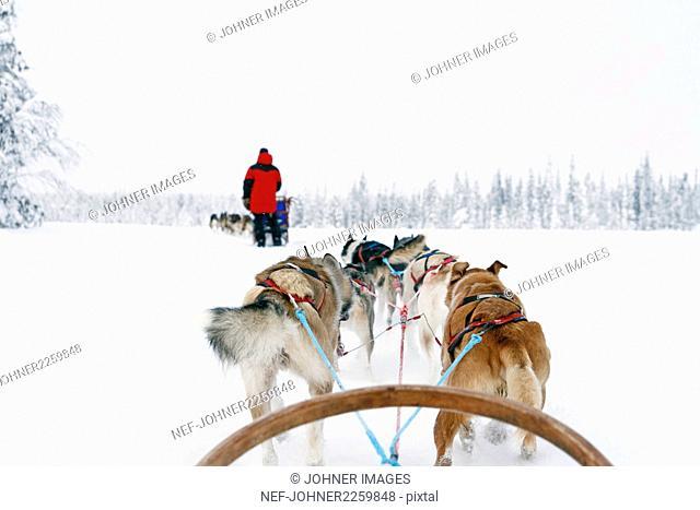 Siberian Huskies pulling sleigh
