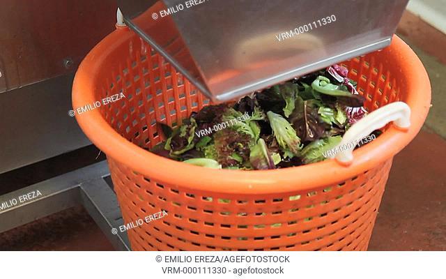 Washing vegetables for packing. Balaguer, Lleida, Catalonia, Spain
