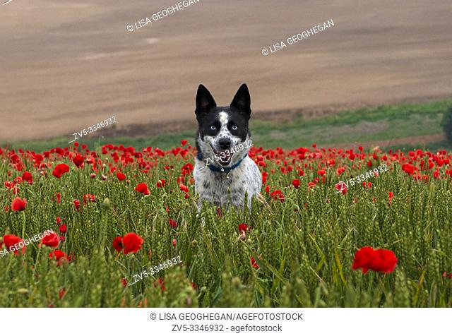 Dog amongst Poppies- Papaver rhoeas on The South Downs National Park, West Sussex, England, Uk