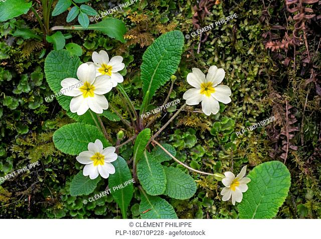 Common primrose / English primrose (Primula vulgaris) in flower on moss covered rock in spring