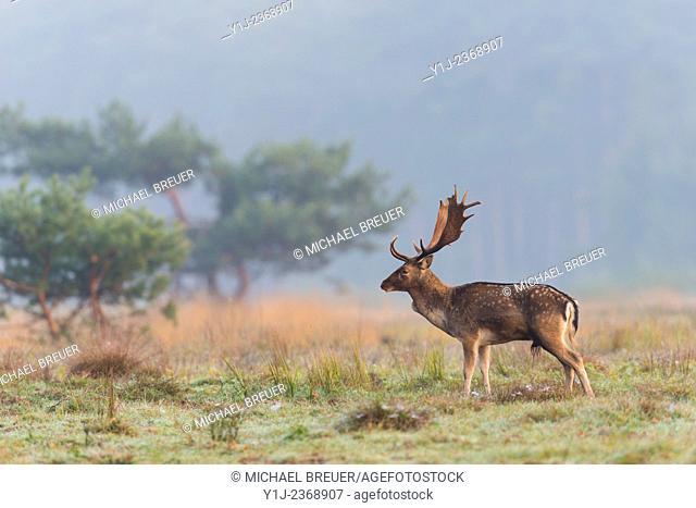Fallow Deer (Cervus dama) in Autumn, Hesse, Germany, Europe