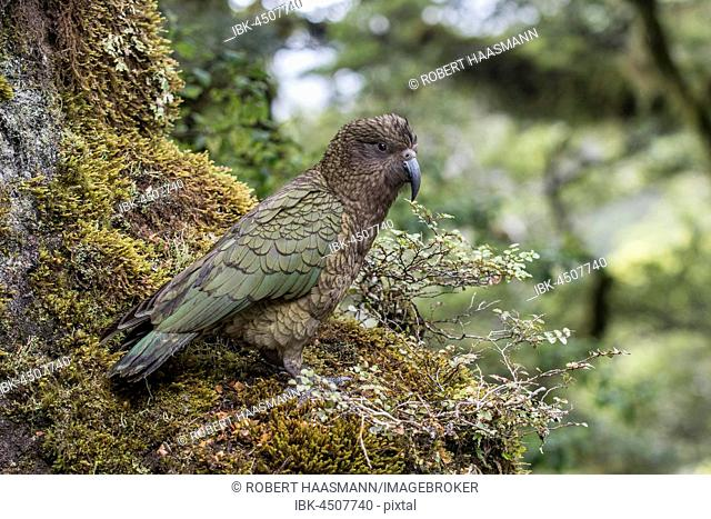 Kea (Nestor notabilis) in the rainforest, Fiordland National Park, Southland, New Zealand