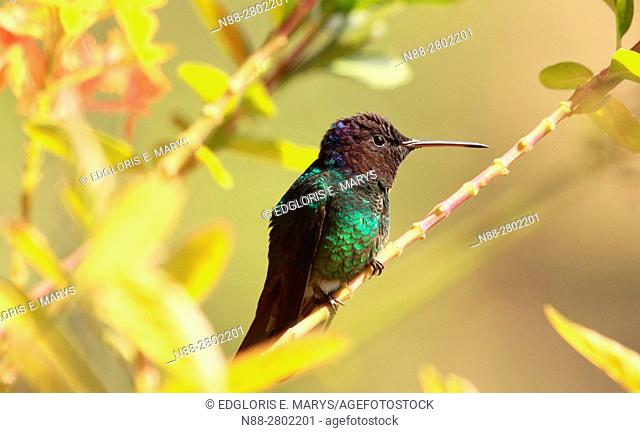 Golden-tailed Sapphire hummingbird perched in a branch Rain Forest Altos Mirandinos Venezuela