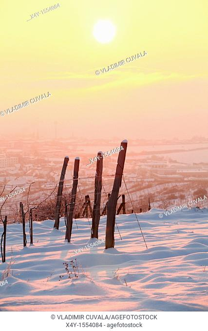 Vineyards near Modra Slovakia in early morning sun
