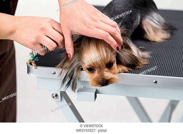 Pet beautician to dog grooming