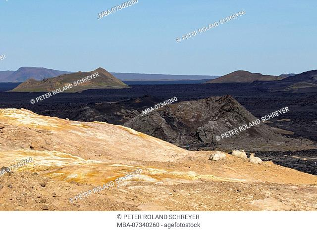 Iceland, Krafla region, sheep on yellow hanging in front of black lava landscape