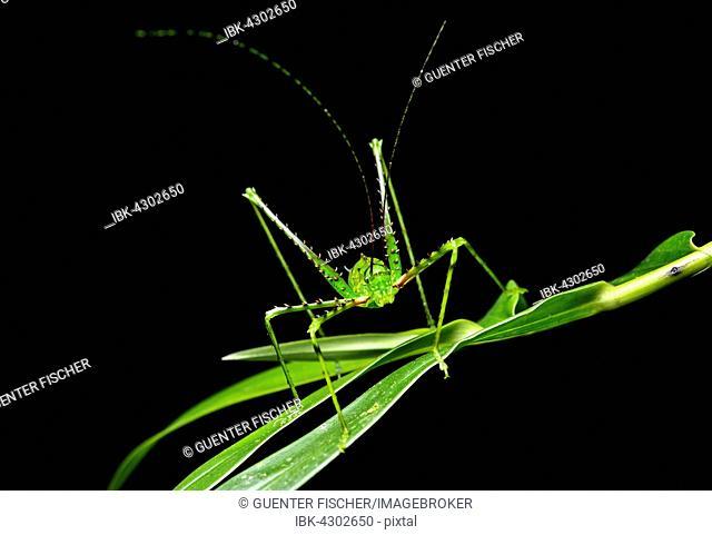 Katydid or bush cricket (Championica sp.) on leaf, Cloud Forest, Cosanga, Ecuador