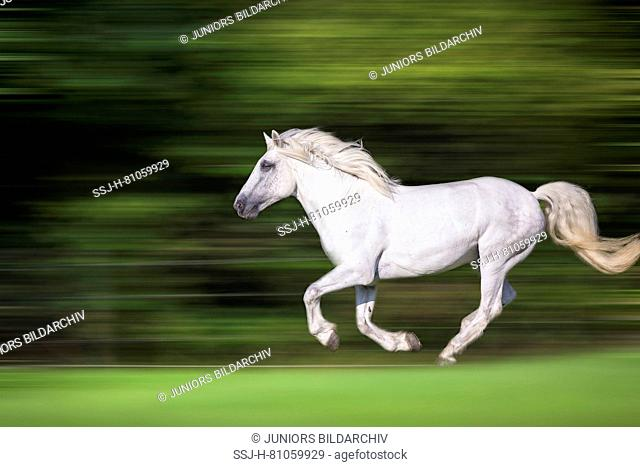Highland Pony. Adult gelding galloping on a pasture. Germany