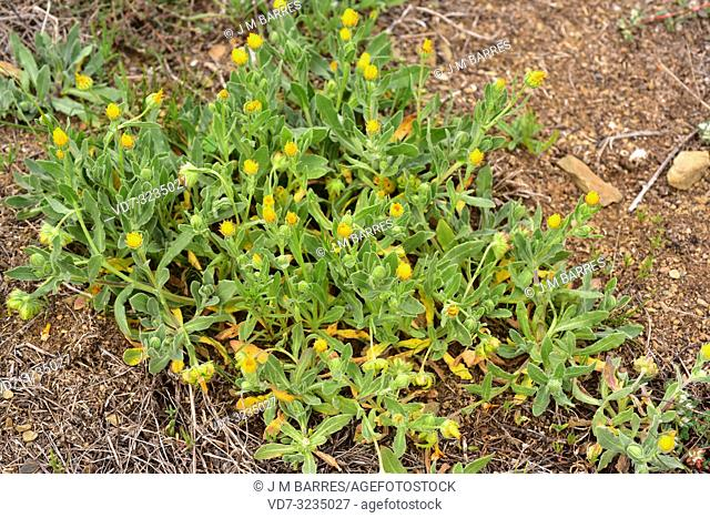 Field marigold (Calendula arvensis) is an annual or biennial herb native to Mediterranean Basin. This photo was taken in Alt Emporda, Girona province, Catalonia