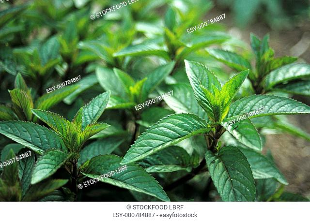 Sprigs of fresh peppermint in flowerbed close-up