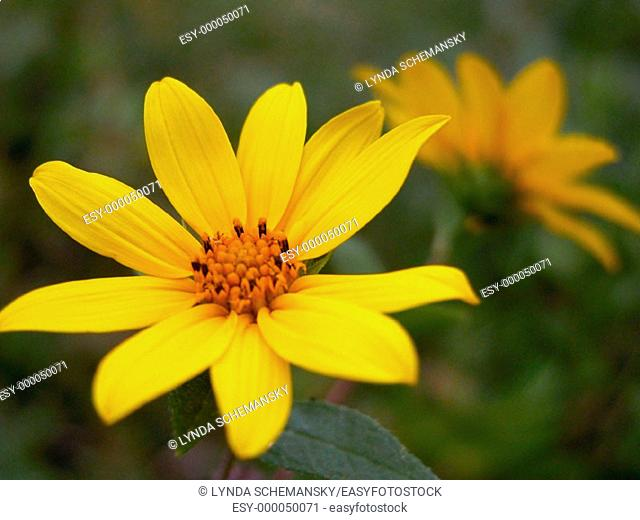 Wild Sunflowers (Helianthus sp.)