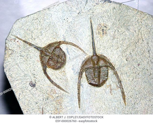 Ornithomilmud