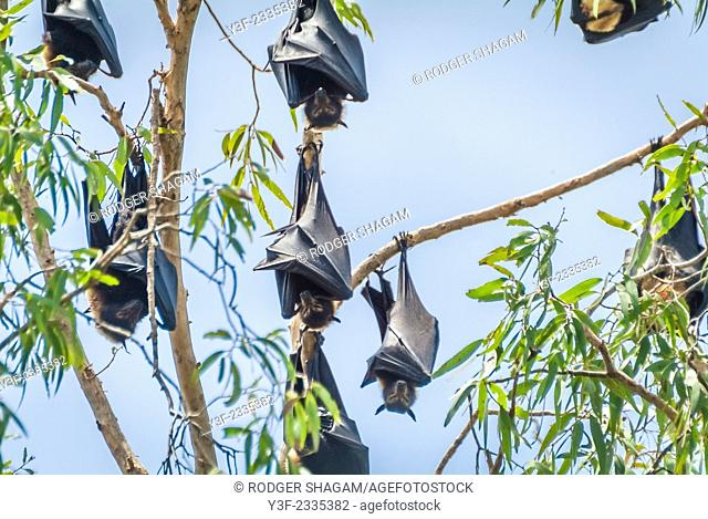Fruit bats sleep in a gumtree during the day.Cairns, Australia