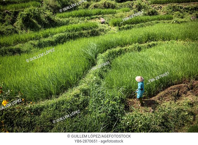 Harvest in Indonesian rice field, Sumatra, Indonesia