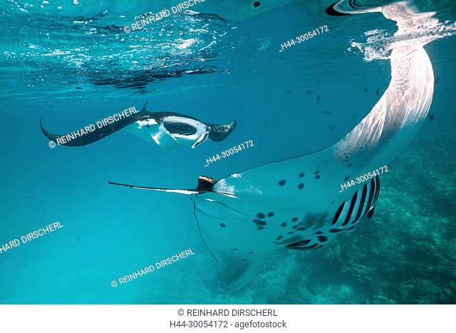 Reef Manta, Manta alfredi, Felidhu Atoll, Maldives