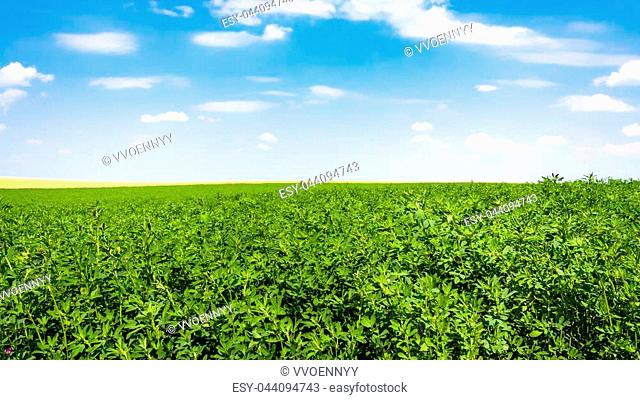 country landscape - blue sky with white clouds and green alfalfa field near village L'Epine Marne in sunny summer day in Champagne region of France