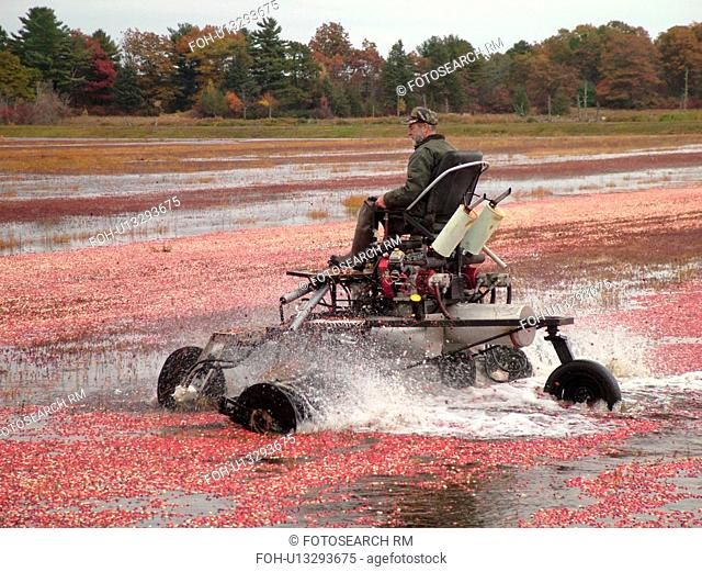 East Wareham, MA, Massachusetts, Plymouth County, Cranberries, Cranberry Wet Harvest, water reels