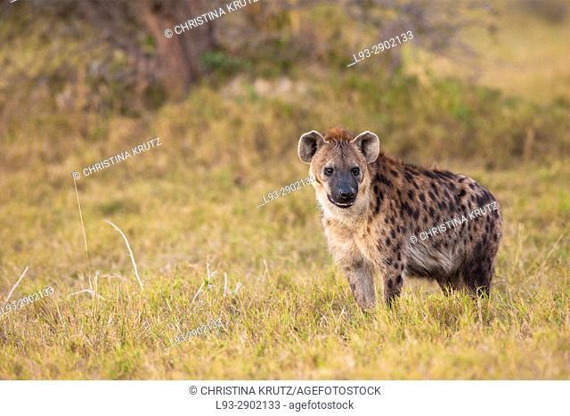 Spotted hyena (Crocuta crocuta). Okavango Delta, Botswana, Africa