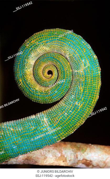 parsons chameleon - rolled tail / close-up view / calumna parsonii