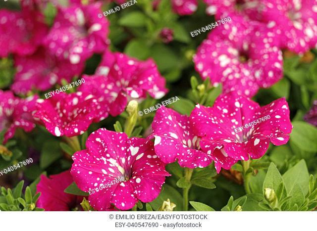 Petunia surfinia flowers