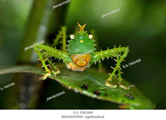 Thorny Devil Bush cricket, Spiny bush cricket (Panacanthus cuspidatus), sitting on a green leaf, Ecuador, Tiputini, Yasuni National Park