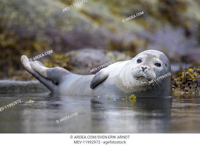 Harbour Seal - resting seal at rocks - Svalbard, Norway