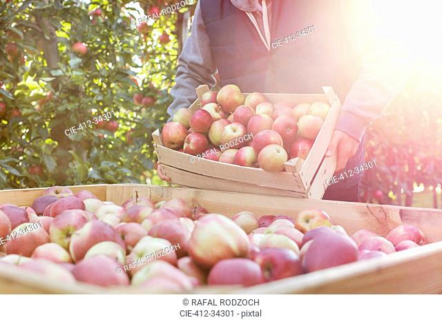 Male farmer emptying fresh harvested red apples into bin in sunny orchard