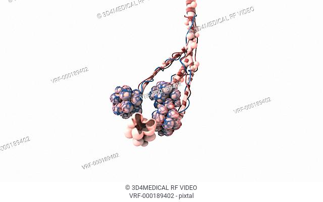 Animation depicting a zoom into alveoli both with and without capillaries. The focus of this image is on alveoli without capillaries with some of the alveolar...