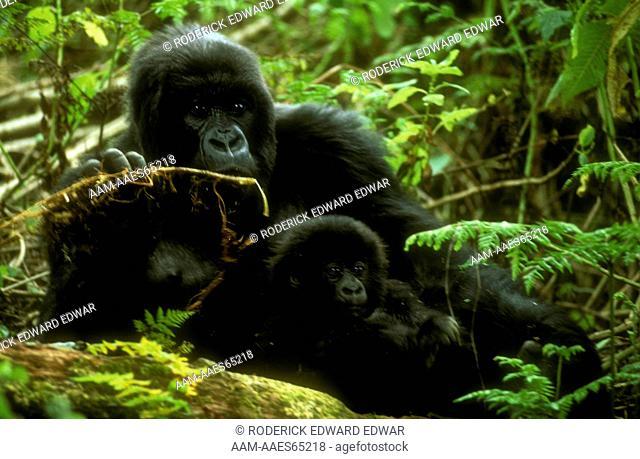 Mountain Gorilla w/baby (Gorilla gorilla beringei) Volcanoes NP, Rwanda