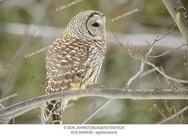 Barred owl (Strix varia), Greater Sudbury, Ontario, Canada