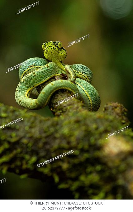 Bothriopsis bilineata. New born green pit viper on a tree. Venomous Snake (solenoglyphous) mostly nocturnal. French Guiana